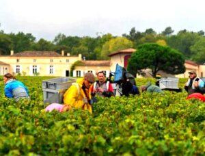 2012 domaine de chevalier harvest 300x228 Domaine de Chevalier Pessac Leognan Bordeaux, Complete Guide