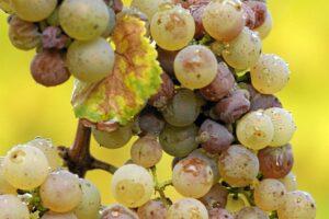 Sauternes2 300x200 Learn about Sauternes/Barsac Sweet Bordeaux, Best Wines, Top Vineyards