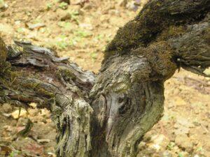 Troplong Vines 300x225 Chateau Troplong Mondot St. Emilion Bordeaux, Complete Guide