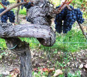 09 Bordeaux Harvest Grape Vine 300x267 2009 Pomerol Harvest, The Pomerol Report Chateaux Owners Comment