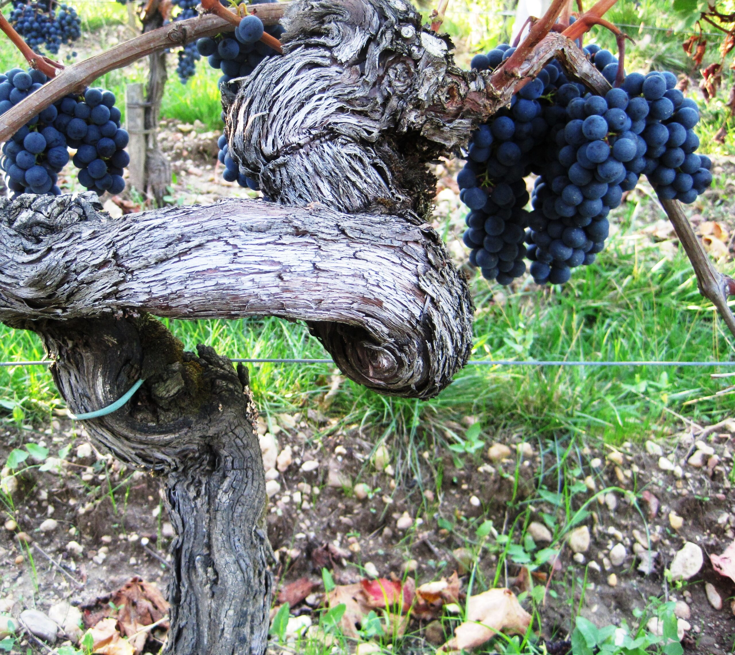 2009 Pomerol Harvest, The Pomerol Report Chateaux Owners Comment
