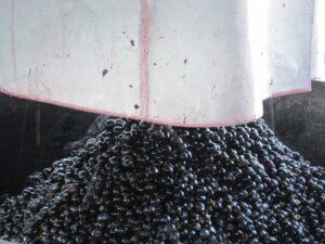 09 Bordeaux harvest Grapes 300x225 2009 Pomerol Harvest, The Pomerol Report Chateaux Owners Comment