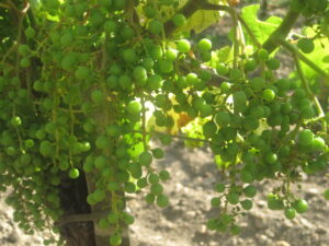 Grapes Green 300x225 2009 Bordeaux Value Wines of the Vintage