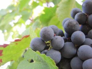 09 Bordeaux Harvest Brane1 300x225 2010 Chateau Angelus Hubert De Bouard, 2010 hot, but not like 2003!
