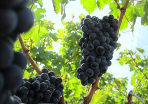2009 Bordeaux Harvest Grapes 21 300x212 2010 Bordeaux Wine Harvest: Merlot in the Medoc is being picked now!