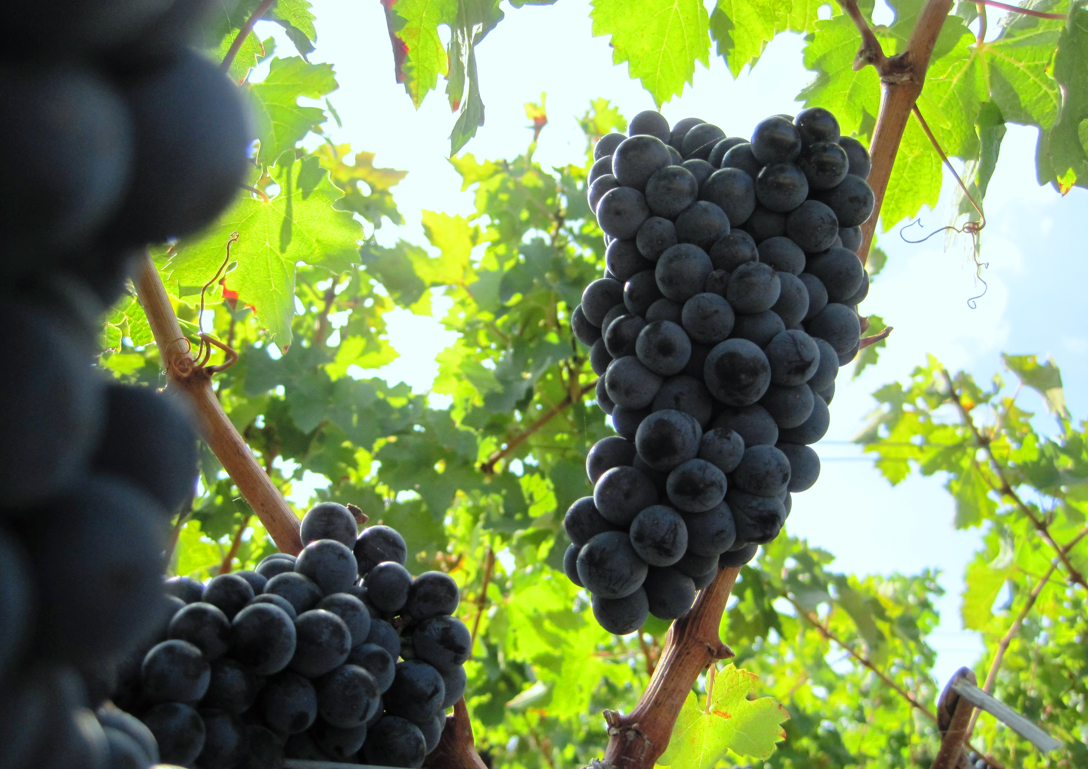 2009 Bordeaux Harvest Grapes (2)