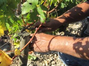 2009 Bordeaux Harvest hands 300x225 2009 Branaire Ducru Harvest, Patrick Maroteaux calls vintage unique