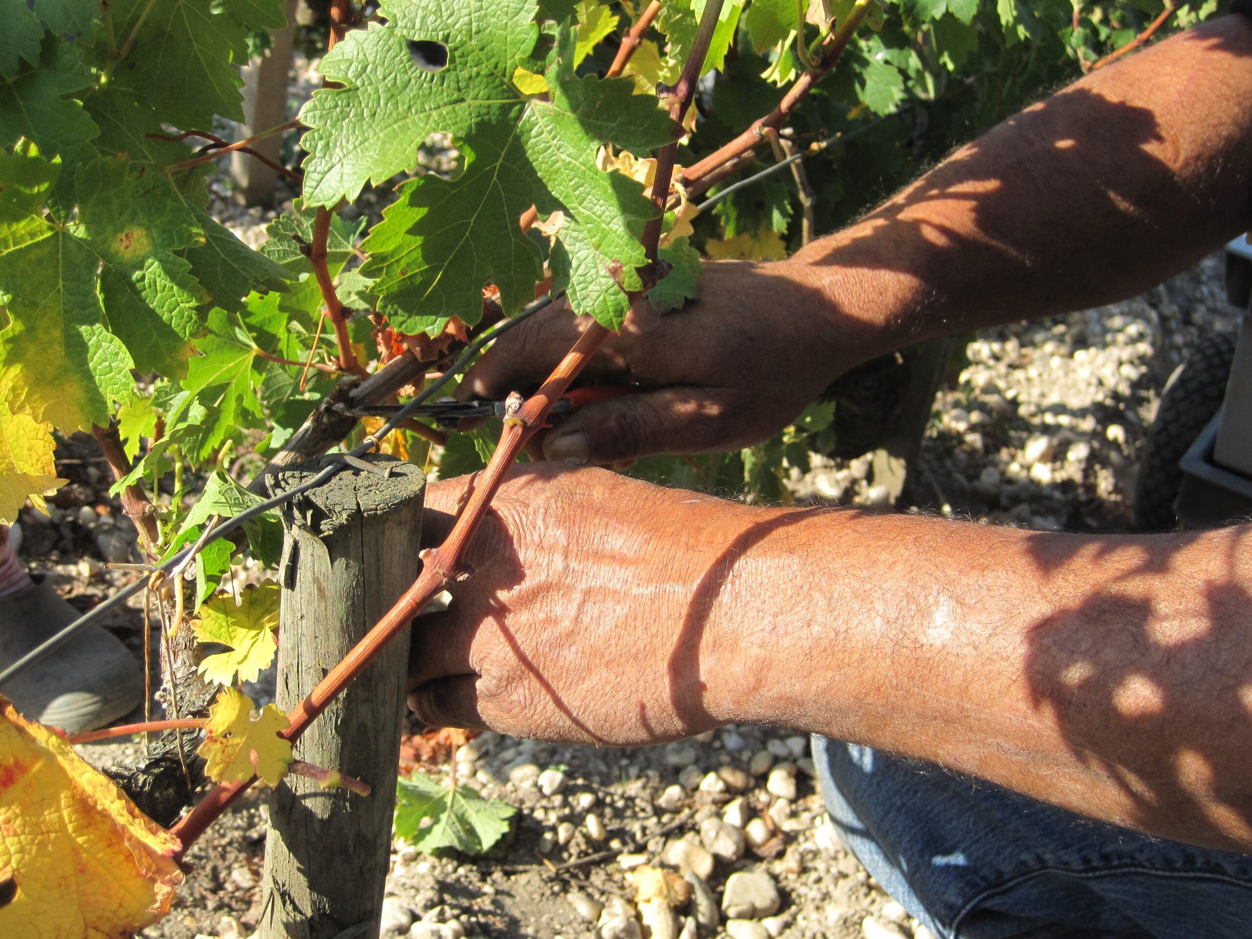 2009 Branaire Ducru Harvest, Patrick Maroteaux calls vintage unique
