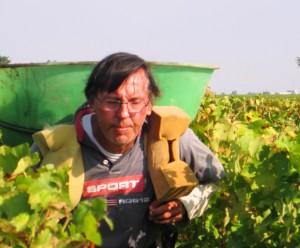 2009 Clos Fourtet Harvest 300x248 2009 St. Emilion Harvest, Troplong, Pavie, Fleur Cardinale, Clos Fourtet & More