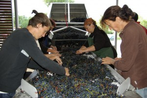 2010 Brane sorting table 300x200 2010 Bordeaux Wine Harvest: Merlot in the Medoc is being picked now!