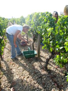 2010 Conseillante harvest 2A 225x300 2010 Pomerol Harvest is in full bloom in Bordeaux, Expect Low Yields