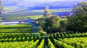 HIllside vines 300x167 2009 St. Emilion Harvest, Troplong, Pavie, Fleur Cardinale, Clos Fourtet & More