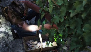 Haut Brion Blanc 2010 harvest 2 300x174 2010 Bordeaux White Wine Harvest Finishes. Vintners Thrilled!