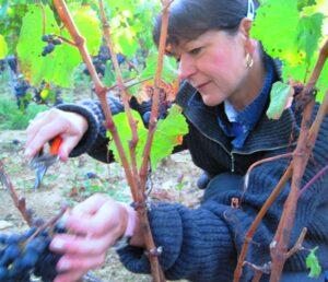 Murielle Grape Cutting 300x258 2009 St. Emilion Harvest, Troplong, Pavie, Fleur Cardinale, Clos Fourtet & More