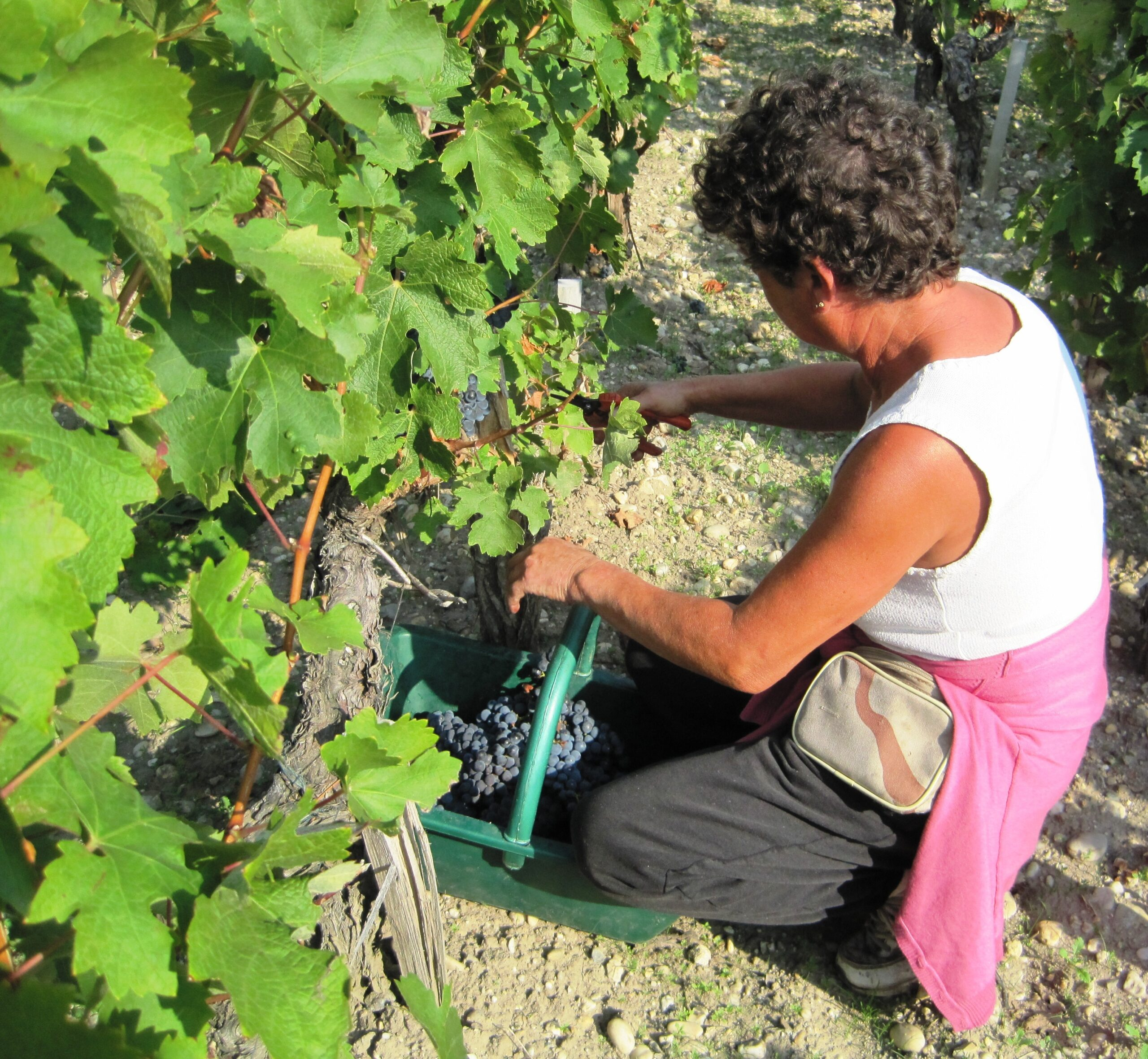 Will Optical Sorting Machines matter for the Bordeaux harvest?