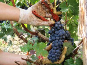 St. Emilion 2009 harvest 300x225 Stephan von Neipperg 2009 St. Emilion is a Historic Bordeaux Vintage!