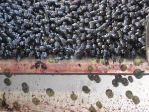 Troplong grapes 300x225 2009 St. Emilion Harvest, Troplong, Pavie, Fleur Cardinale, Clos Fourtet & More