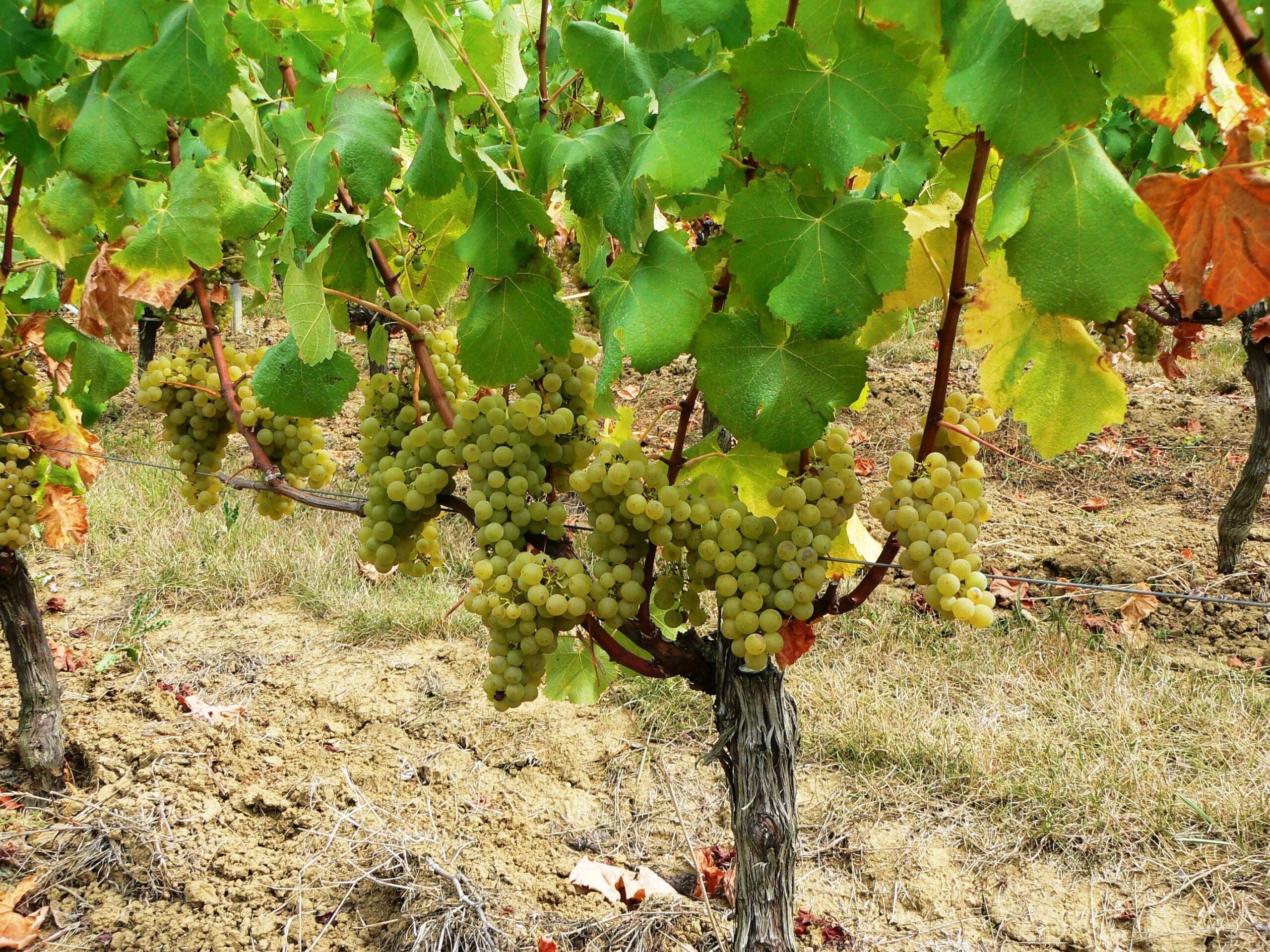 Blanc de Valandraud St. Emilion Bordeaux starts harvesting today