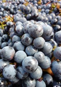 2010 Bordeaux harvest fruit 211x300 2010 Leoville Poyferre Harvest Didier Cuvelier Interview