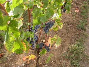 2010 Canon Grape Vine 300x225 2010 Rauzan Segla Harvest John Kolasa talks about Growing Season