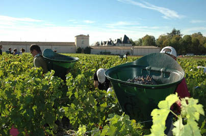 2010 Bordeaux Wine Harvest. Haut Brion Shows High Alcohol