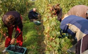 2010 bordeaux harvest 2 300x186 2010 Beau Sejour Becot Harvest, Juliette Becot tries something new!