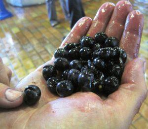 2009 bordeaux harvest 300x262 2010 Fleur Cardinale Harvest Interview with Florence Decoster