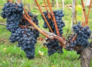 2010 Fleur Cardinale Vines 300x219 2010 Fleur Cardinale Harvest Interview with Florence Decoster
