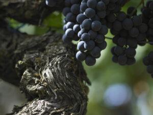 Clos des Jacobins Old vines 300x225 2010 Clos des Jacobins Harvest Interview with Thibaut Decoster