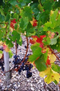brane leaves and grapes 200x300 2010 Smith Haut Lafitte Harvest, Interview with David Ornon