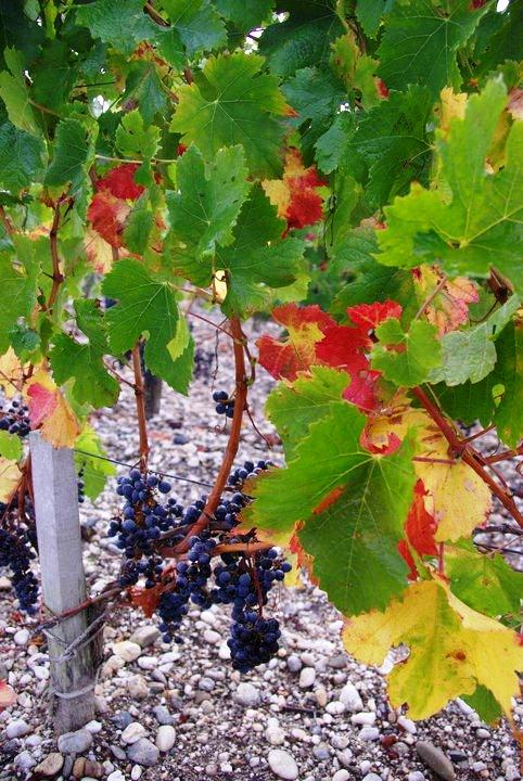 2010 smith haut lafitte harvest interview with david ornon - Difference between wine grapes and table grapes ...