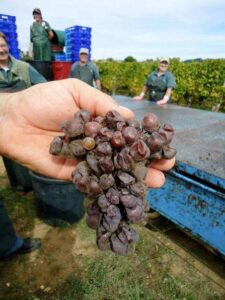 coutet berries1 225x300 2010 Coutet Barsac Brings Botrytis in Bordeaux, Aline Baly Interview