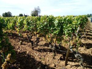 coutet vines 300x225 2010 Coutet Barsac Brings Botrytis in Bordeaux, Aline Baly Interview