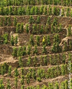 Cote Rotie Vines1 241x300 Cote Rotie Everything you want to know, the Complete Rhone Wine Guide
