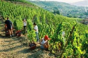 Gerin1 300x200 Domaine Jean Michel Gerin Cote Rotie Rhone Wine, Complete Guide