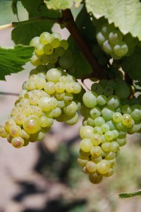 Hagen Chardonnay grapes 200x300 Clos Pepes Wes Hagen Straight Talk on California Chardonnay