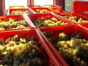 martin Zwick white grapes Gerrman wine 300x225 2009 German Harvest Successful for Patient Producers