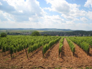 Tokaji Vineyards 300x225 Tokaji Wine, The National Treasure of Hungary for Centuries