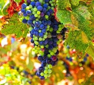 Bordeaux grapes hanging on the vine