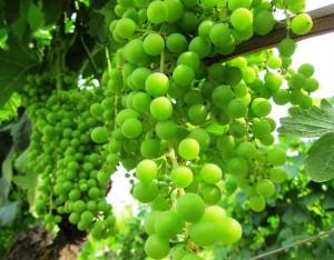 Bordeaux grapes1 300x234 2011 Bordeaux Blanc Harvest is taking place at a slow pace.