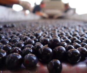 Cabernet Sauvignon Grapes sorting on belt 300x252 2018 Bordeaux the Vintage and Harvest Report
