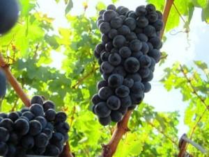 Cabernet Sauvignon Grapes1 300x226 Cabernet Sauvignon Wine Grapes Flavor Character History Food Pairings