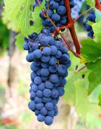 Carmenere Wine Grapes
