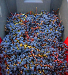 Malbec Wine Grapes 269x300 Malbec Wine Grapes, Flavor, Character, History, Wine Food Pairing Tips