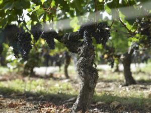 Merlot grapes 300x225 Merlot Wine Grapes, Flavor, Character, History, Wine Food Pairing Tips