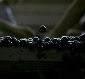 Mourvedre 300x279 Mourvedre Wine Grape, Flavor Character History Wine Food Pairing Tips