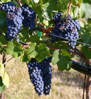 Petite Sirah Wine Grape, Flavor, Character, History, Wine ...