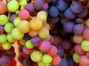 Rhone Grape varietals