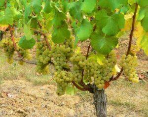 Sauvignon Blanc Wine Grape2 300x238 Sauvignon Blanc Wine Grapes Flavor Character History Wine Food Pairing