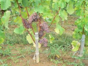Sauvignon Gris 300x225 Sauvignon Gris Wine Grapes, Flavor, Character, History